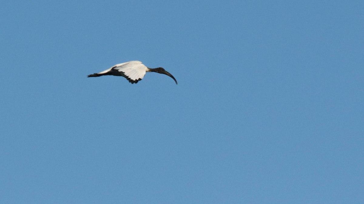 ibis en vol, brennegi, 2 août 18 (1 sur 1)