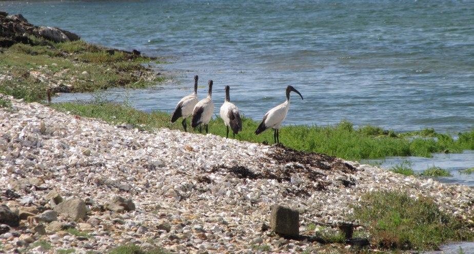 ibis, pointe er vil, 9 août 18, 15h55 (1 sur 1).jpg