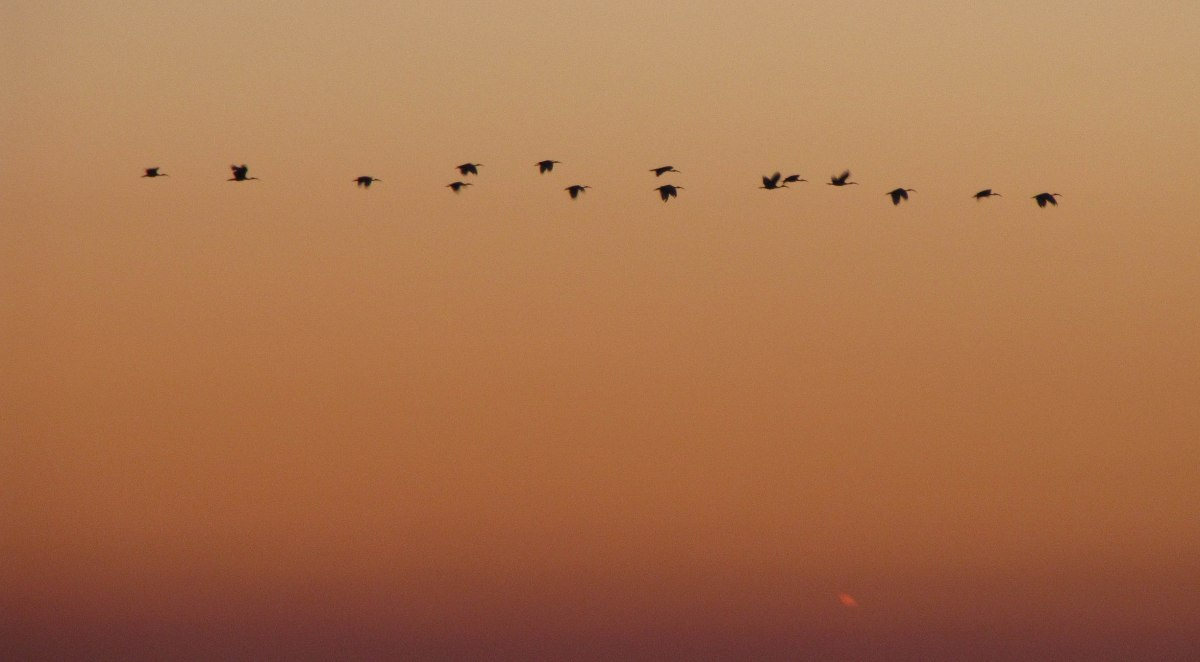 vol d'ibis, locmariaquer,  22 oct 10 (1 sur 1).jpg