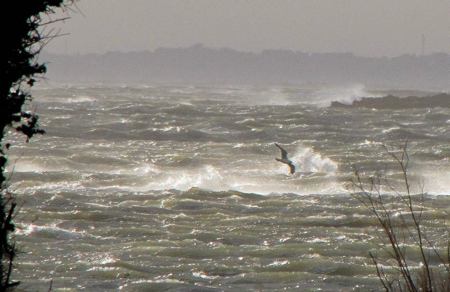 goéland dans le coup de vent sur St Phil,  févr.16 (1 sur 1).jpg