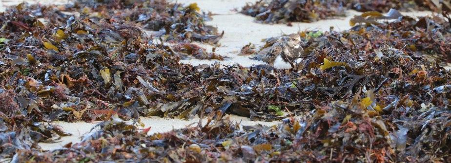 camouflage du tourne-pierre à collier, kerpenhir, 3 mars 18