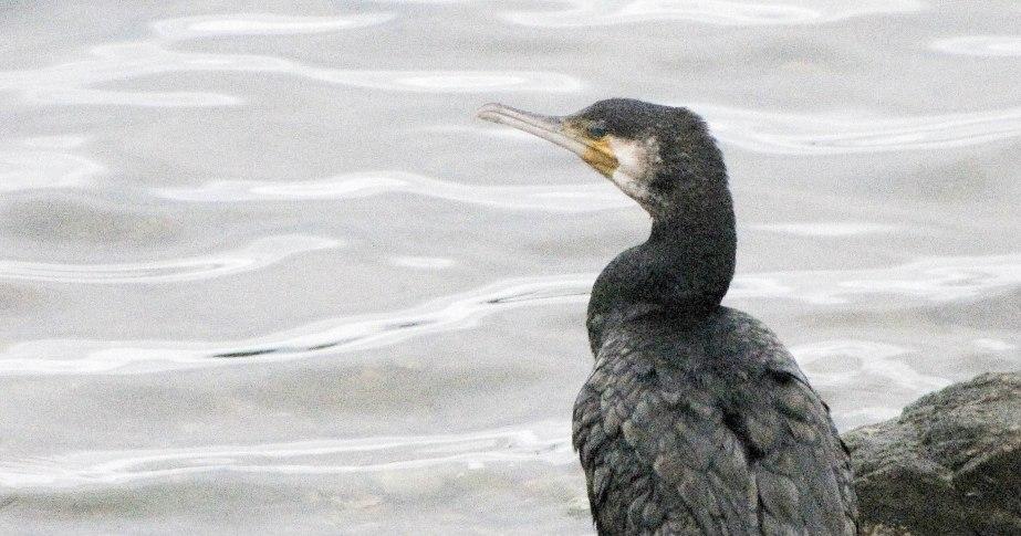 cormoran, brenegi, 4 nov 17 (1 sur 1).jpg
