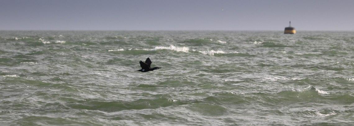 black cormoran 1, Kerpenhir 2, 3 mars 18.jpg