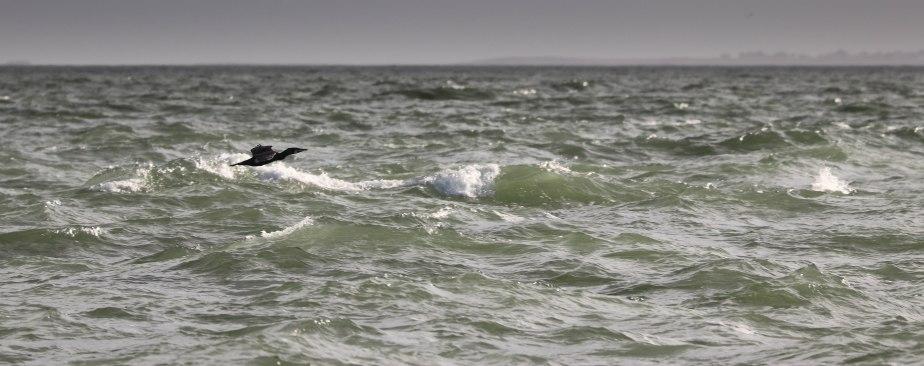 black cormoran, Kerpenhir 2, 3 mars 18