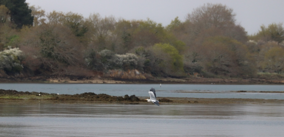 le jeune héron & le goéland 6, rivière d'auray, 12 avril 18  (1 sur 1).jpg
