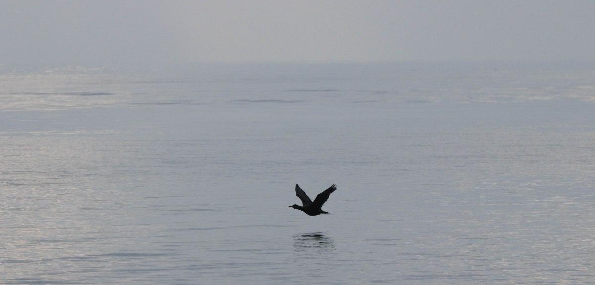 cormoran, kerpenhir, 28 déc 18, 11h34 (1 sur 1).jpg