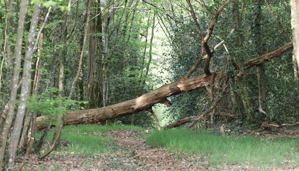 arbre mort, la corbière, 19 avr 19.jpg