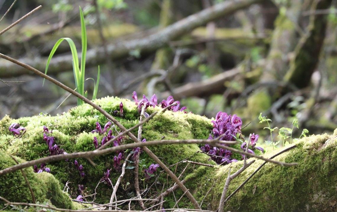 fleurs violettes ,étang de la corbière, 19 avr 19, 17h01.jpg