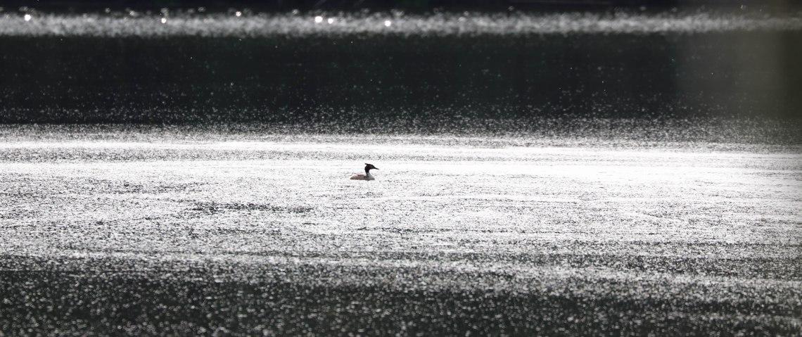 grèbe huppé,étang de la corbière, 19 avr 19, 17h00.jpg