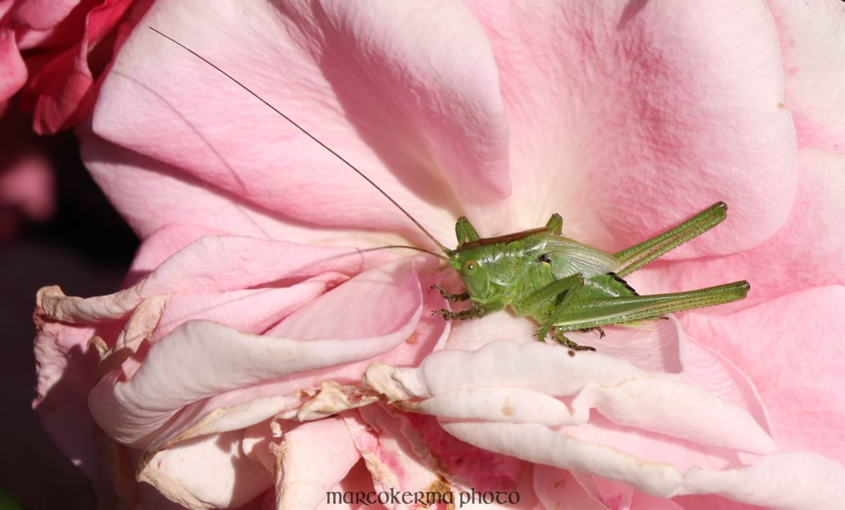 grande sauterelle verte, Locmariaquer, 6 juin 19, 10h24.jpg