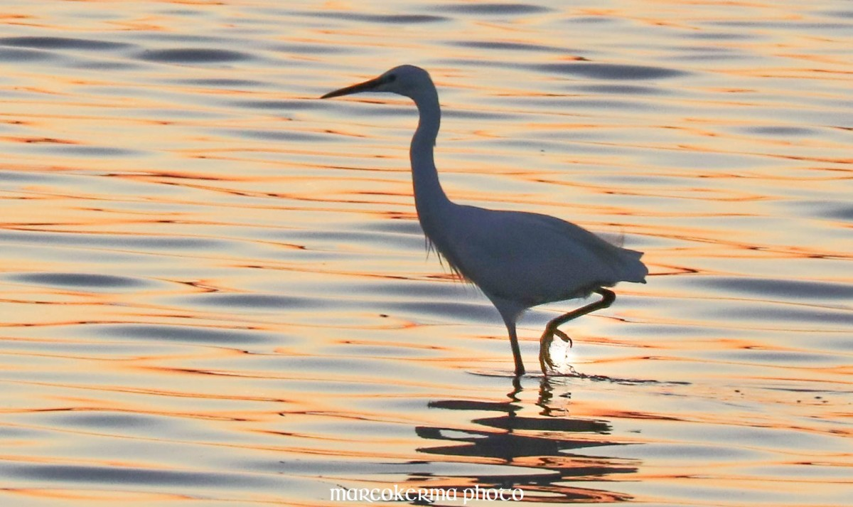 aigrette garzette, Point er vil, 15 sept.19, 20h20.jpg