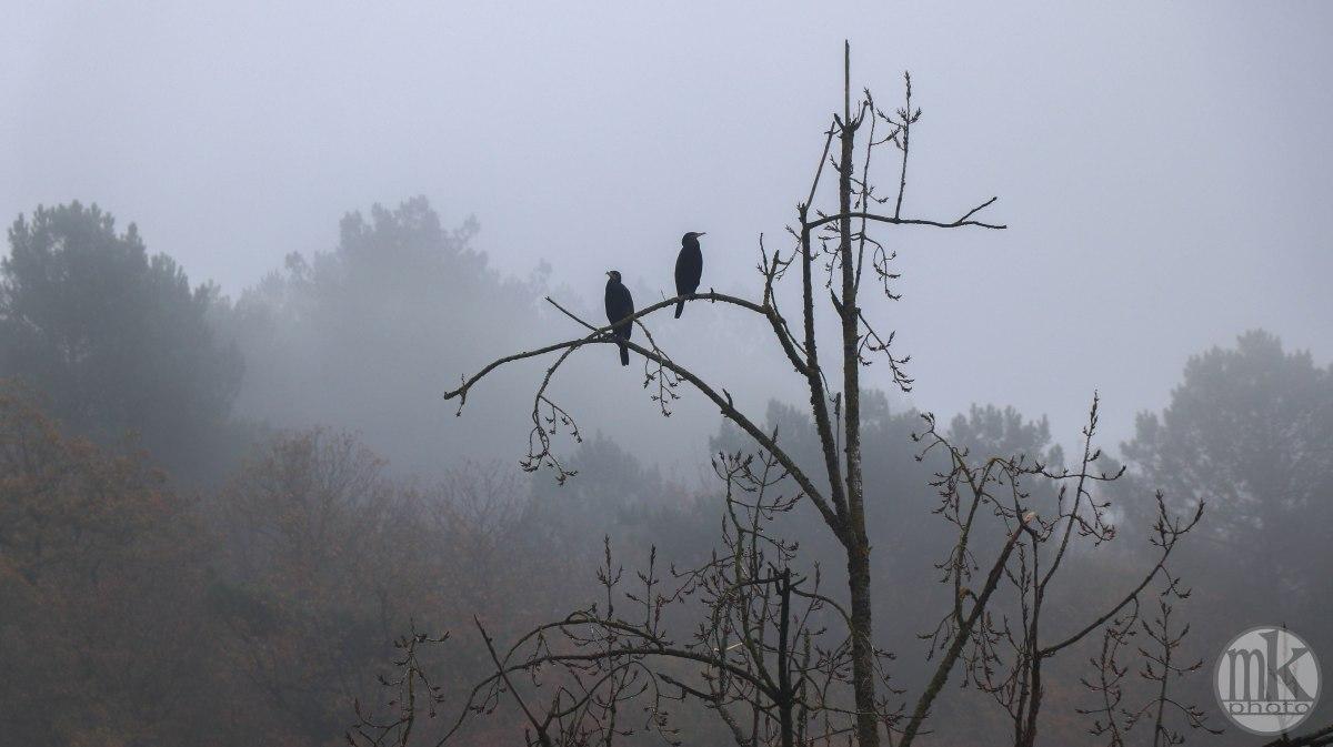 cormorans, la Vilaine, 17 nov 19, 12h44.jpg