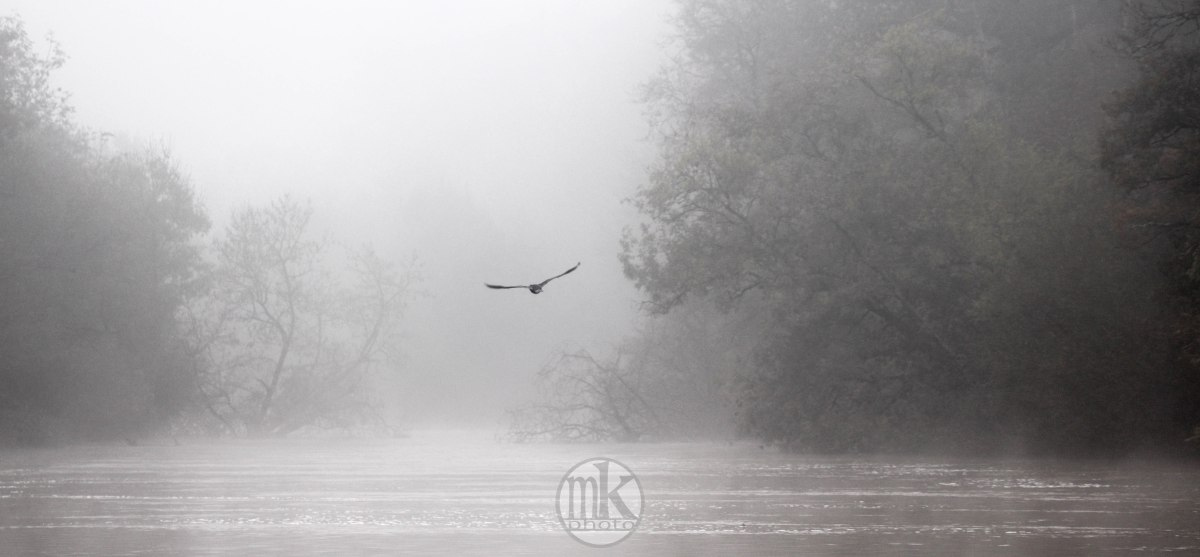 la Vilaine, cormoran, 17 nov 19, 12h16-31