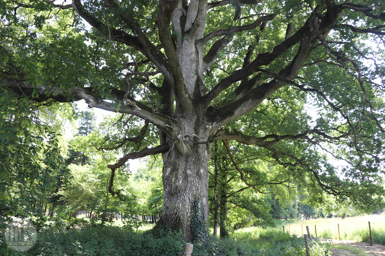 arbre, , Piré s-Seiche, 21 mai 2020, 16-01