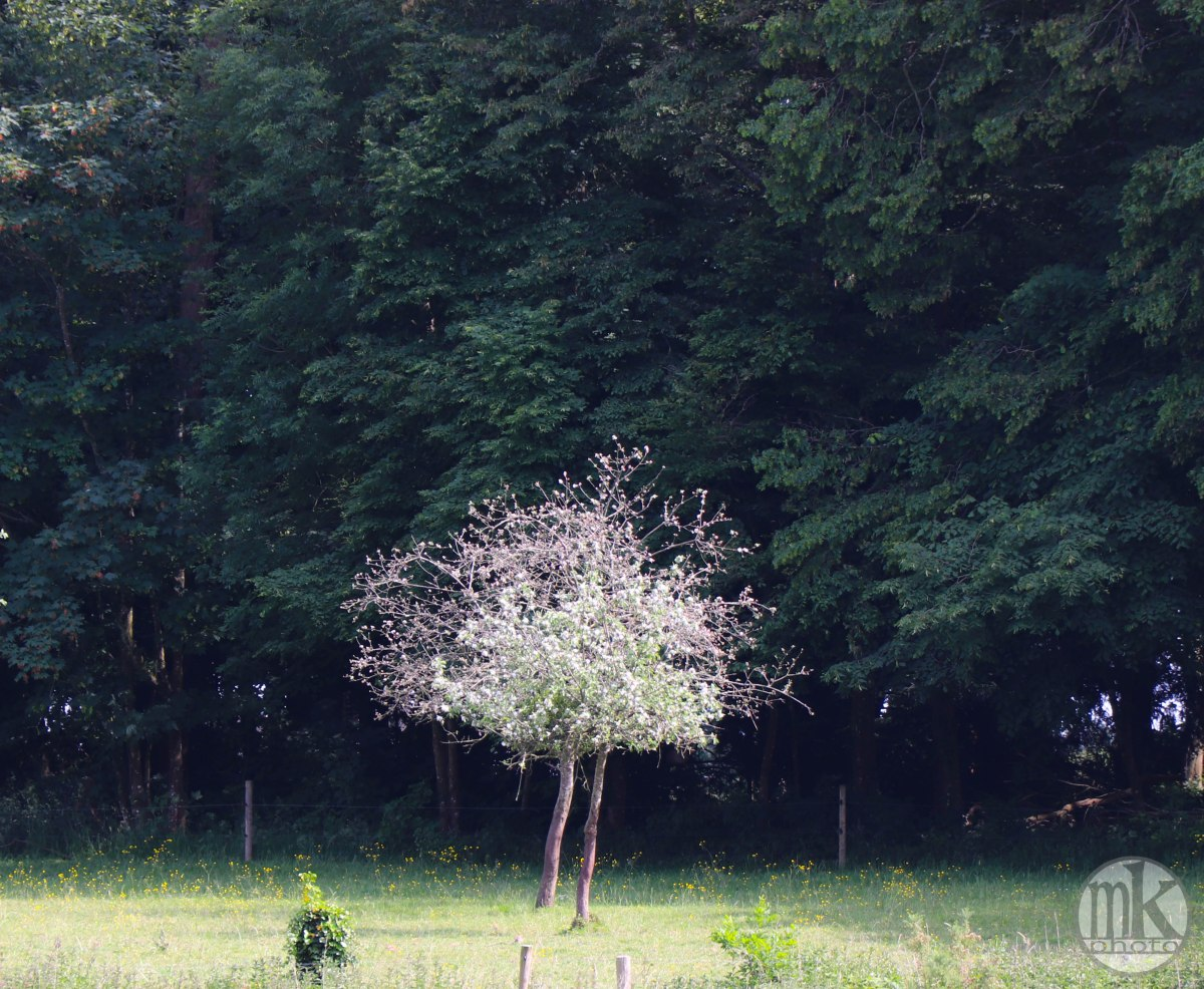 arbre, , Piré s-Seiche, 21 mai 2020, 16-56-28