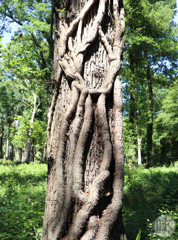 forêt de la Corbière, 15 mai 2020, 16h19