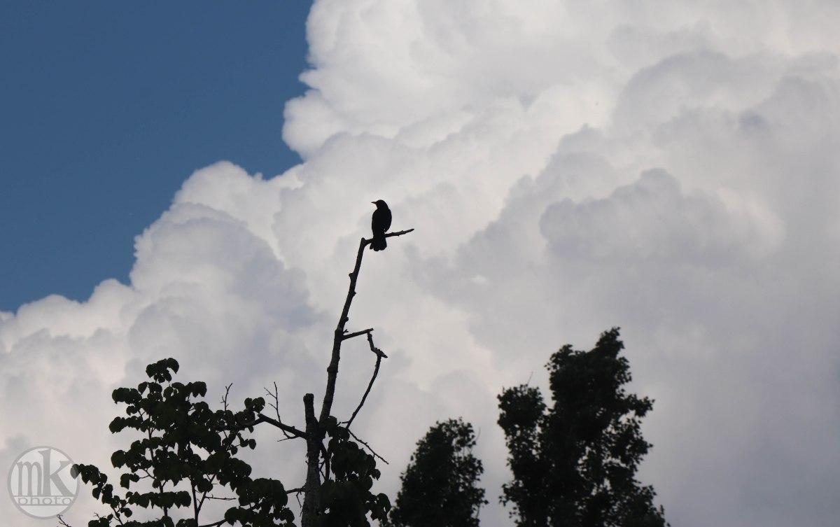nuages et merle, 26 AVRIL 2020, 17H57