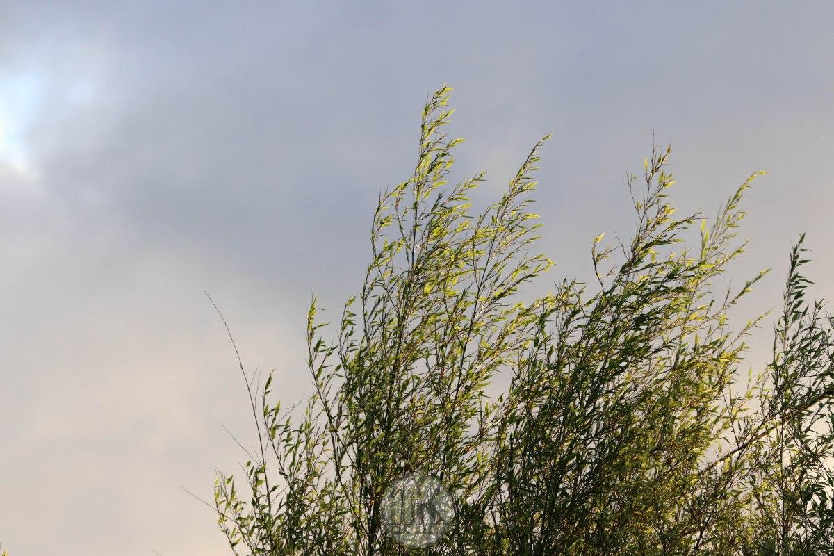 bambou negra, keranlay, 26 juin 20