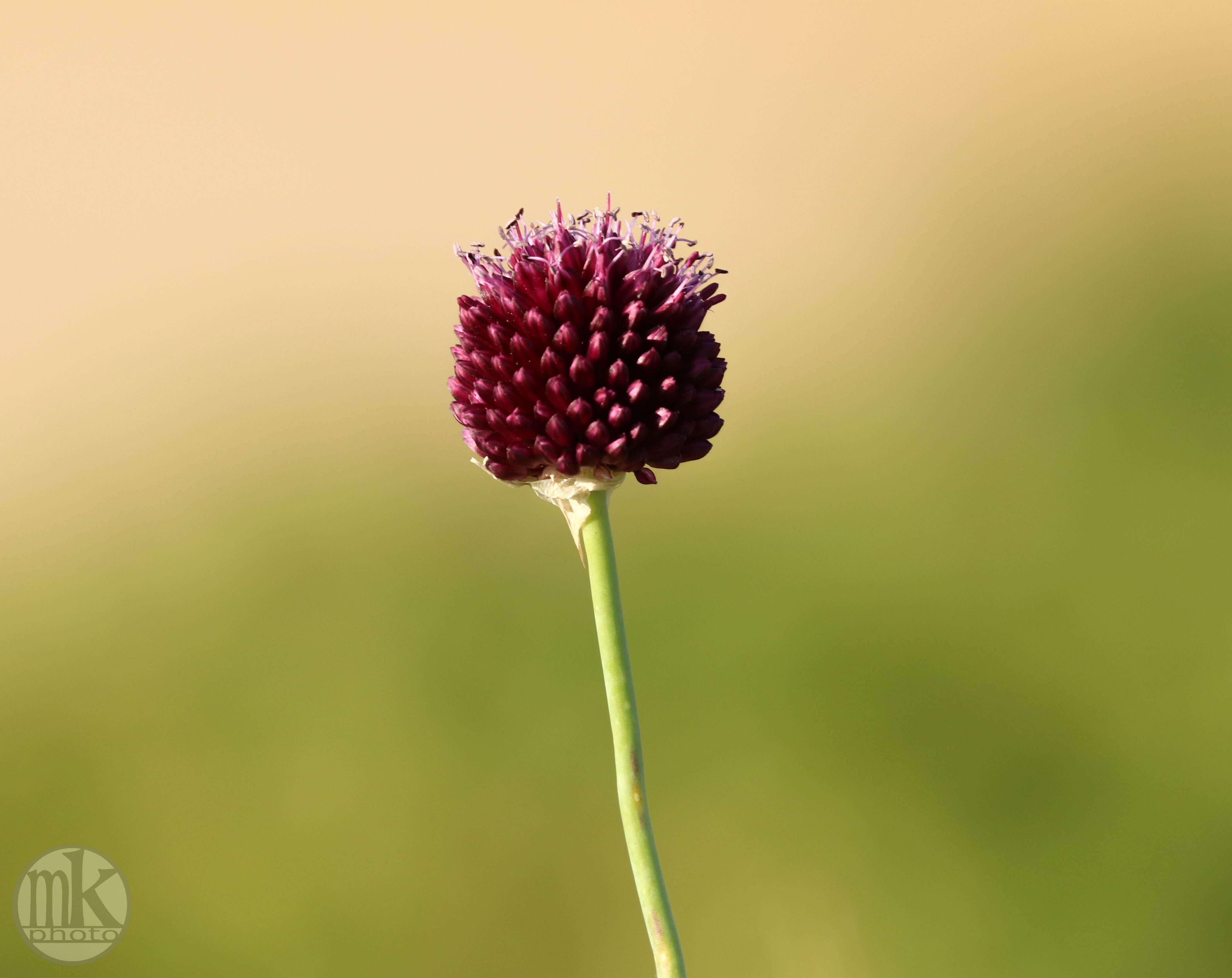 fleur, St Pierre, 14 juin 20,20-18