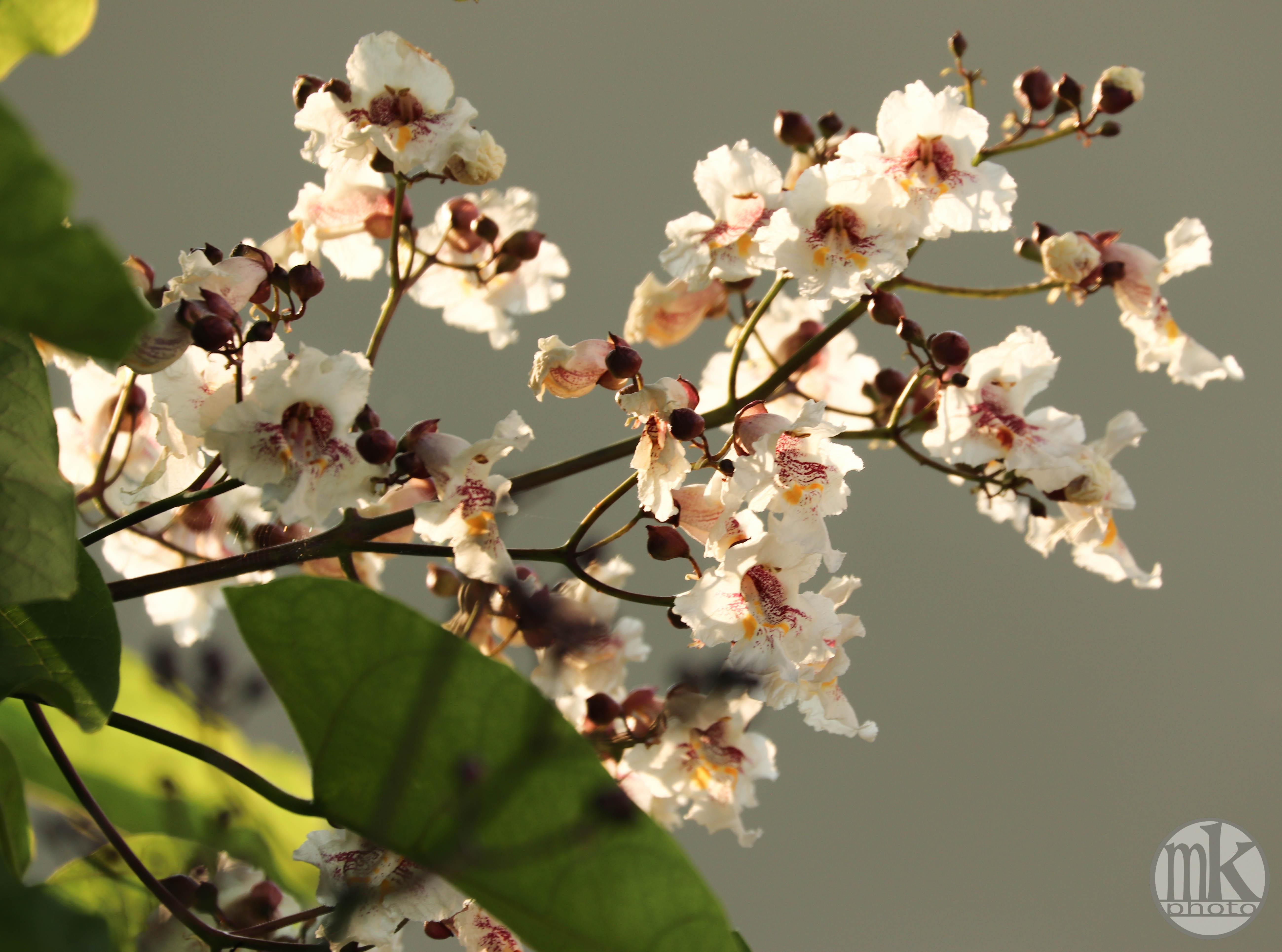 fleurs de catalpa, keranlay, 23 juin 20