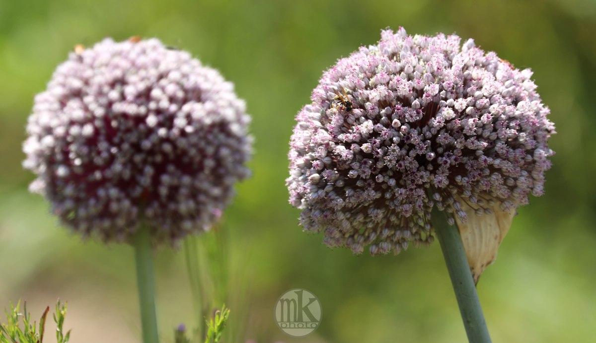 fleurs de poireau, Keranlay, 20 juin 20, 14-02