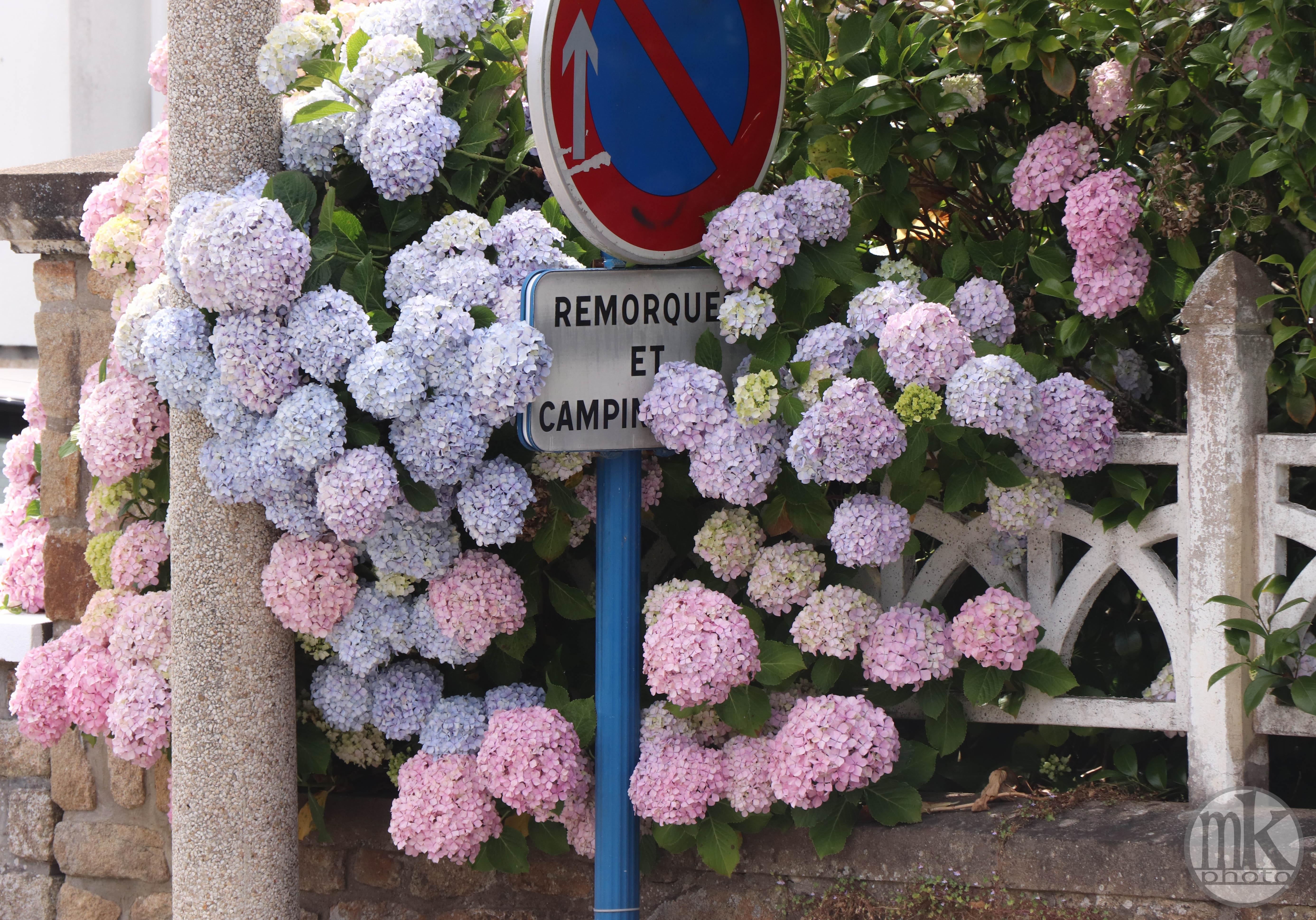 hortensias, Larmor-Baden, 16 juin 20, 15h57