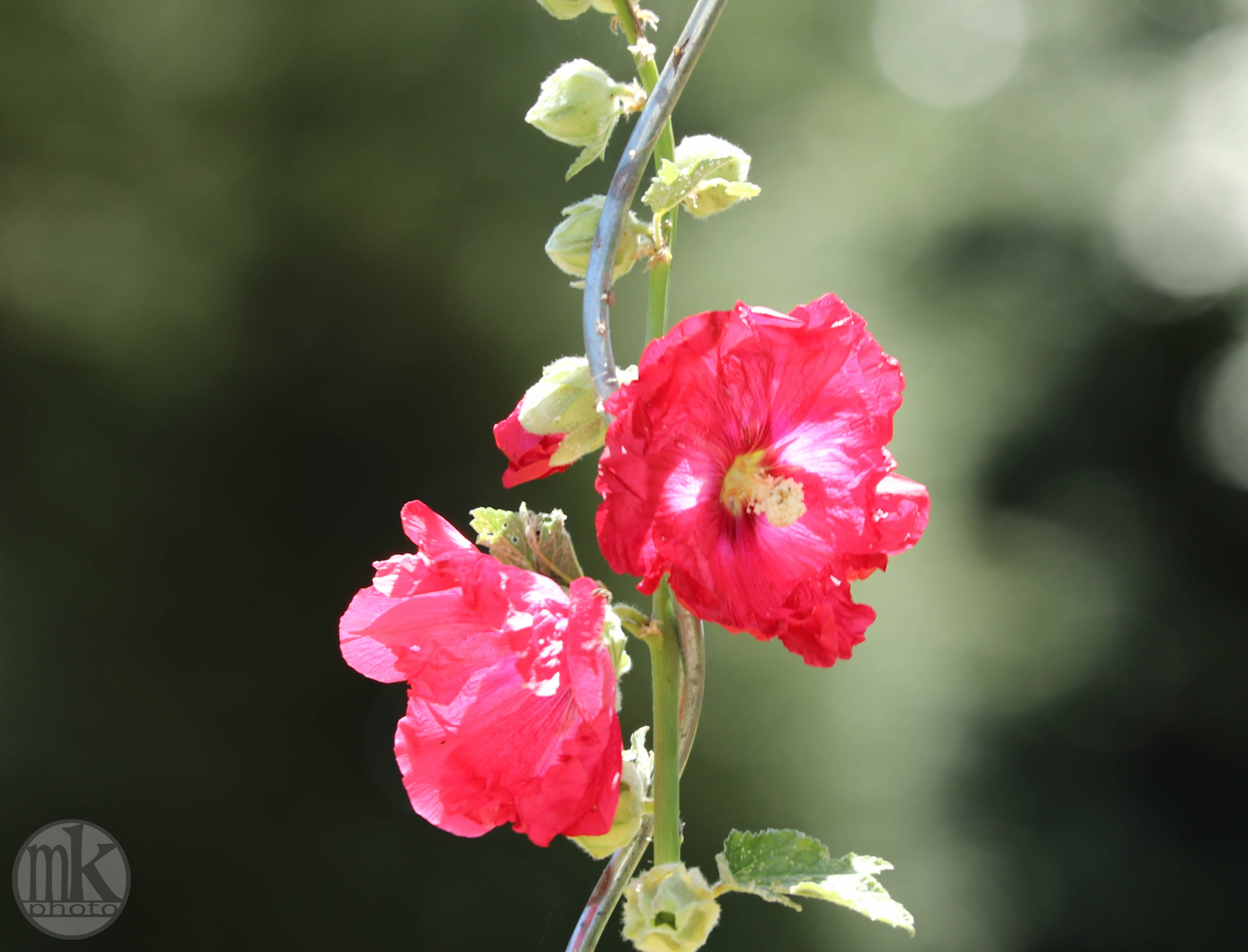 rose trémière, Keranlay, 21 juin 20, 14h56