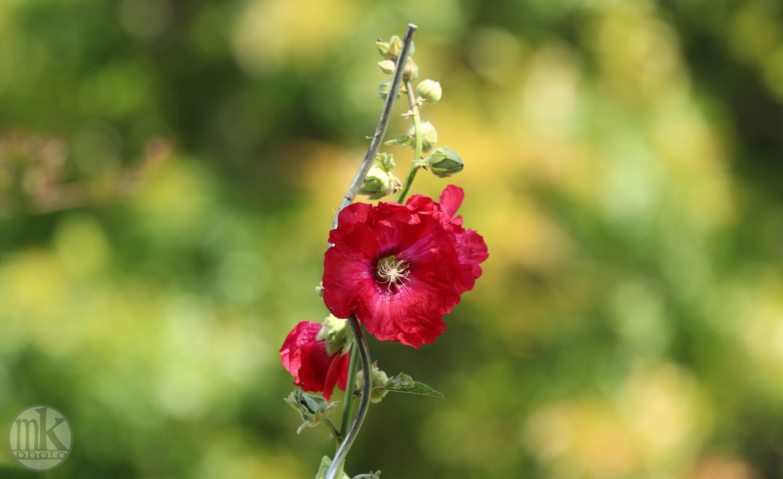 rose trémièrekeranlay, 23 juin 20